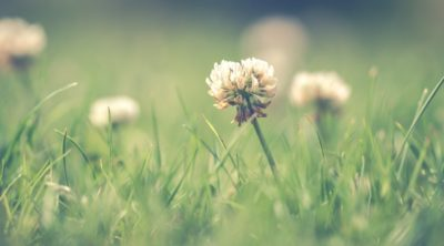 Clovers require the best methods of lawn weed control