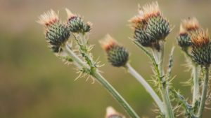 Thistles are considered noxious weeds