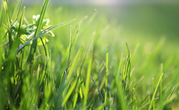 Common grass weeds include clover