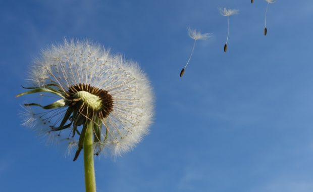 Dandelion is one of the most common lawn weeds