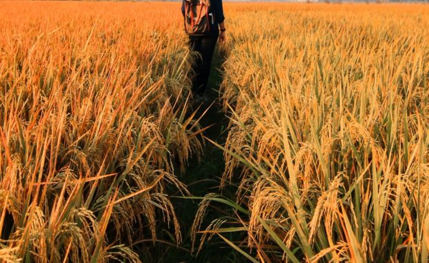 Does cornmeal kill weeds?