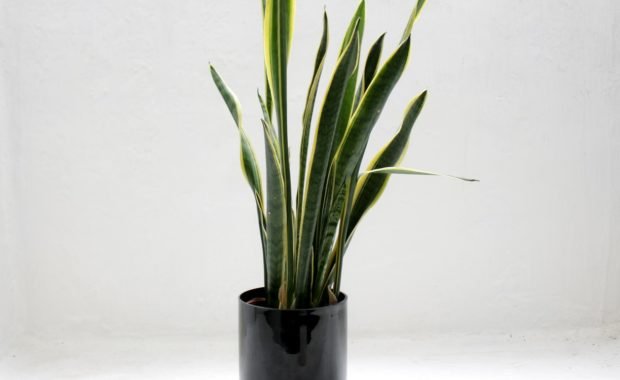 Learn how to take care of snake plant.
