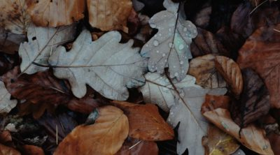 old leaves for mulch around trees