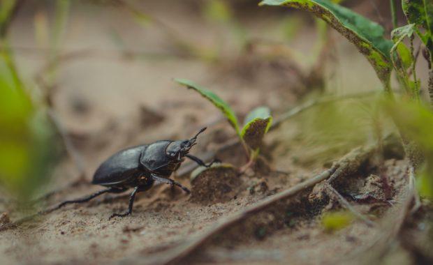 Beetle crawling amongst weeds
